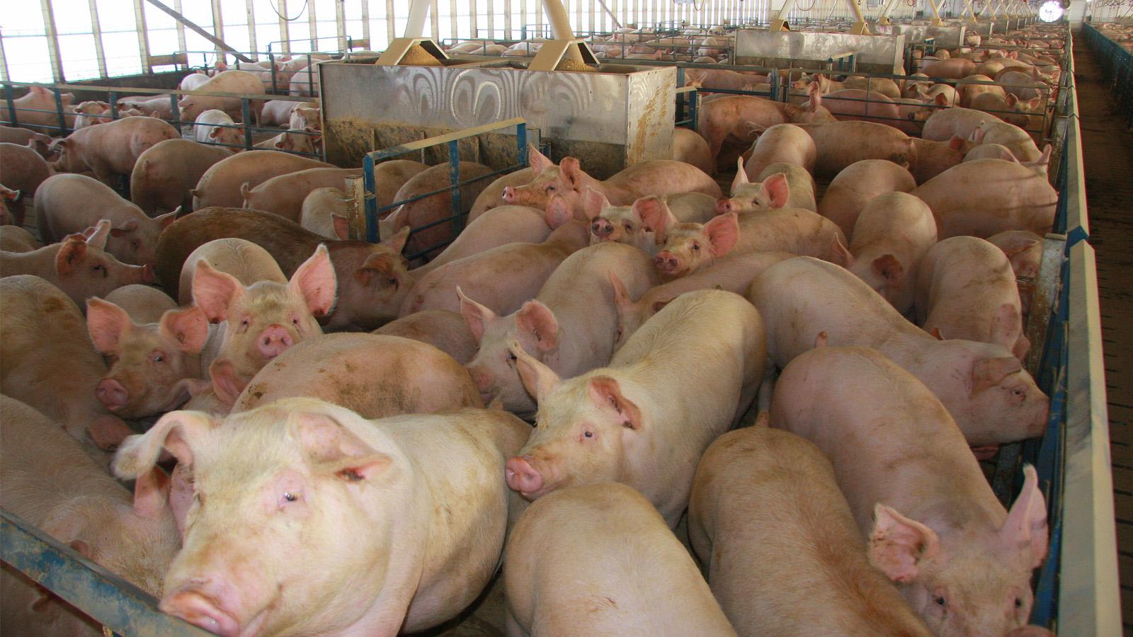 Panamá: producción de cerdo cayó un 11% en el 2019