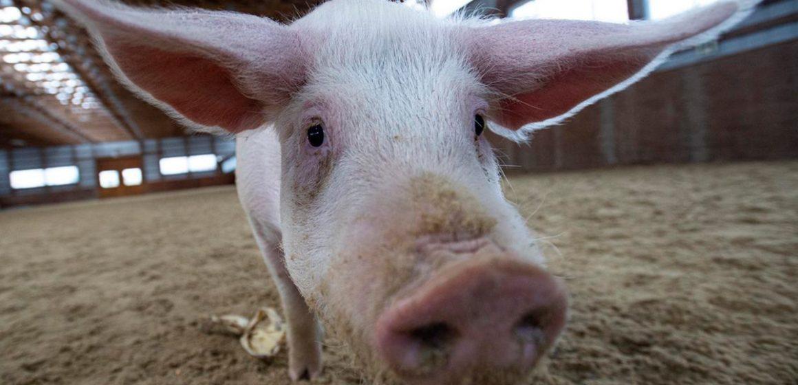 COVID-19: los animales de producción pecuaria no son un vector de contagio al humano