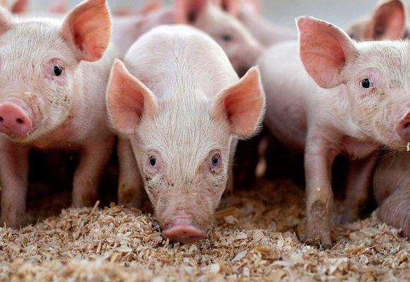 Senasa: China está interesada en importar carne de cerdo y equina del Perú