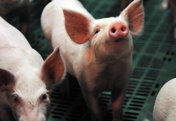 Nueva Zelanda: sacrifican cerdos por coronavirus