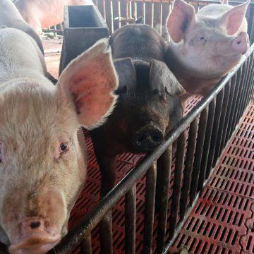 Comercio porcino mundial aun con el estigma de la PPA