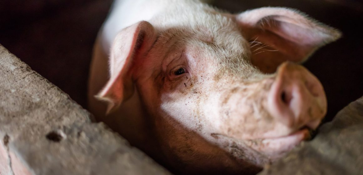México: sector porcino bate récord de exportación de cerdo pese a COVID-19