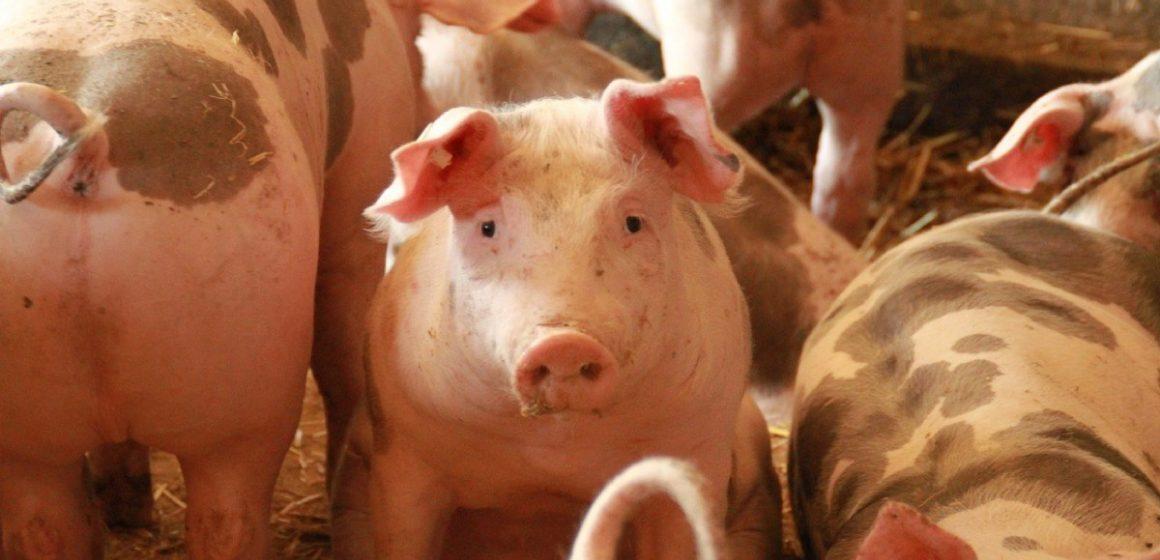 China registra rebrote de Peste Porcina Africana