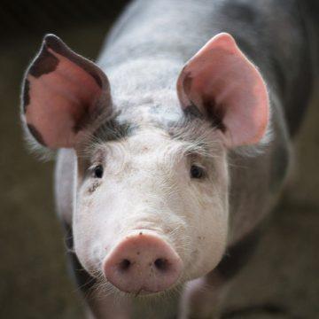 COVID-19 dificultaría aún más el comercio mundial del cerdo