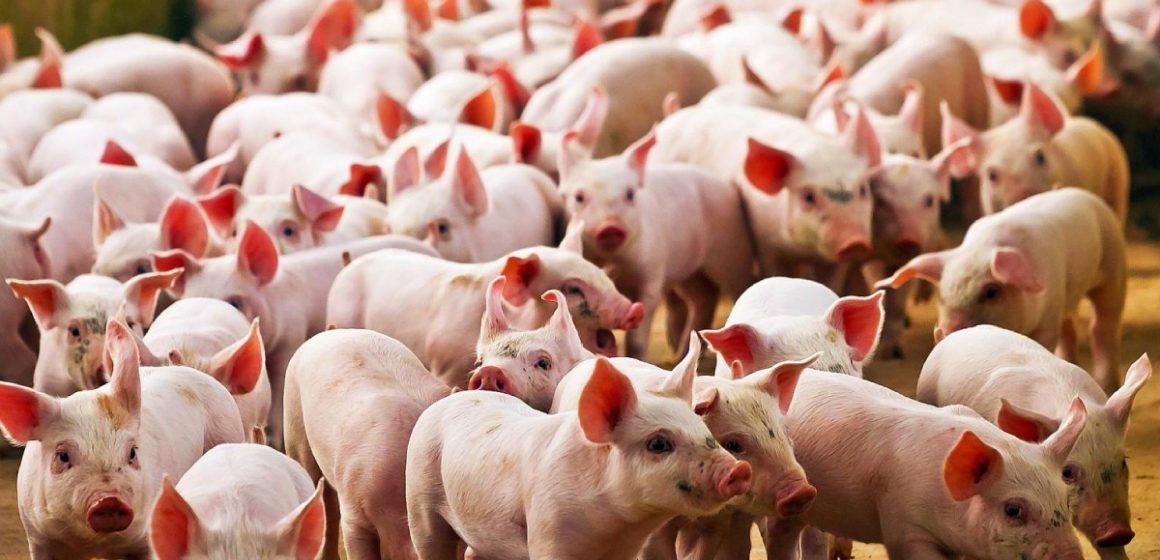 Más de 450 granjas en Polonia son cerradas debido a la presencia de brote de la PPA