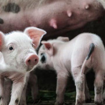 Brasil: crisis en la producción porcina de Estados Unidos podría beneficiar al país