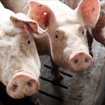 Coronavirus en Perú: caída en precios y producción congelada amenaza la industria porcina