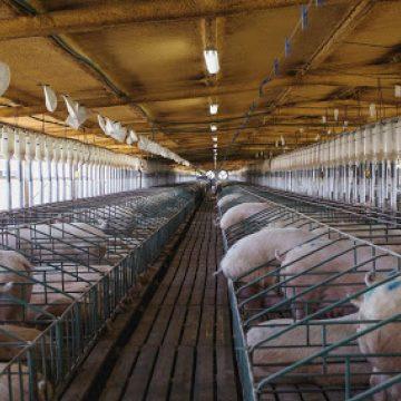Colombia: pérdidas económicas se generan en el sector porcino