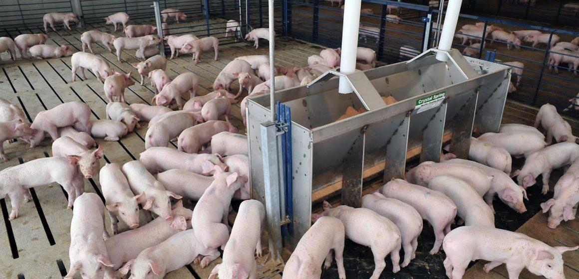 Expertos advierten sobre bienestar porcino durante cuarentena por Covid-19