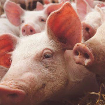 Covid-19: continua la importación de cerdos en España