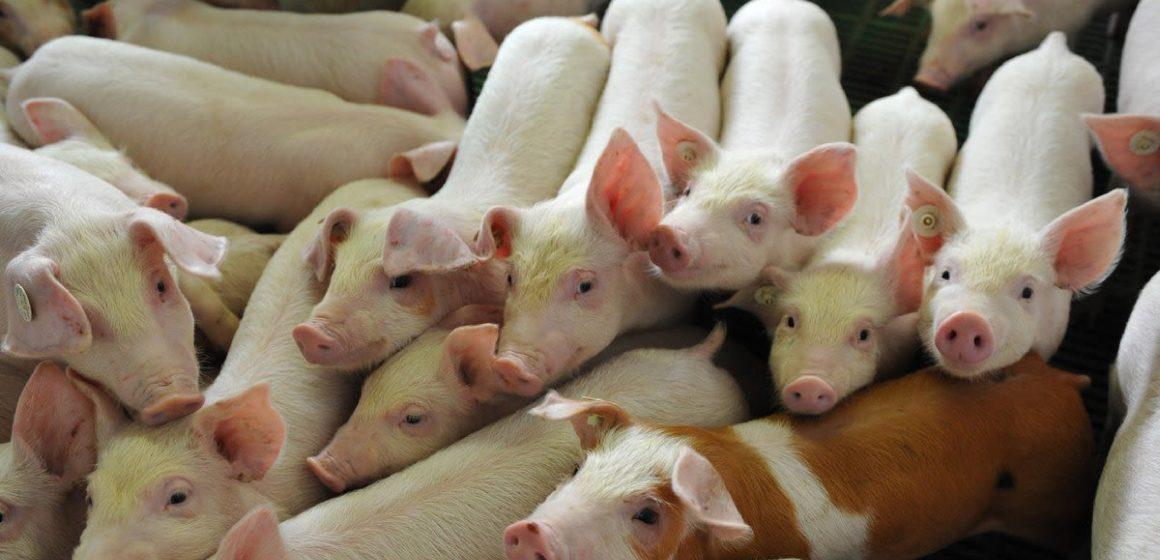 España: nuevos establecimientos porcinos están listos para exportar a China