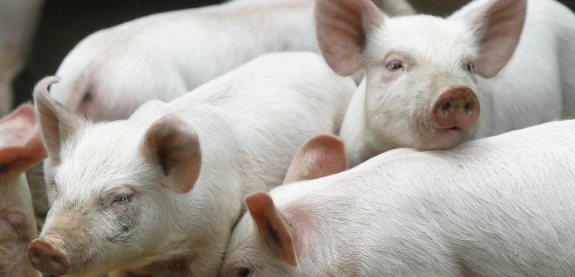 Reino Unido: producción de cerdo creció un 10% en marzo