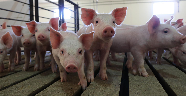 NHF-NPB-Pigs at Wakefield Pork 1540