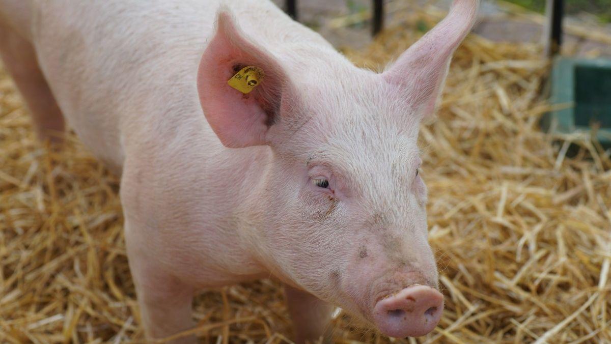 Comercio mundial del cerdo se dificultaría aún más a causa del COVID-19
