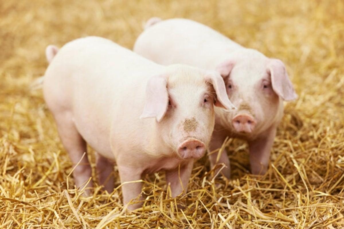 Más del 63% de mujeres deciden la estrategia en la crianza de cerdos