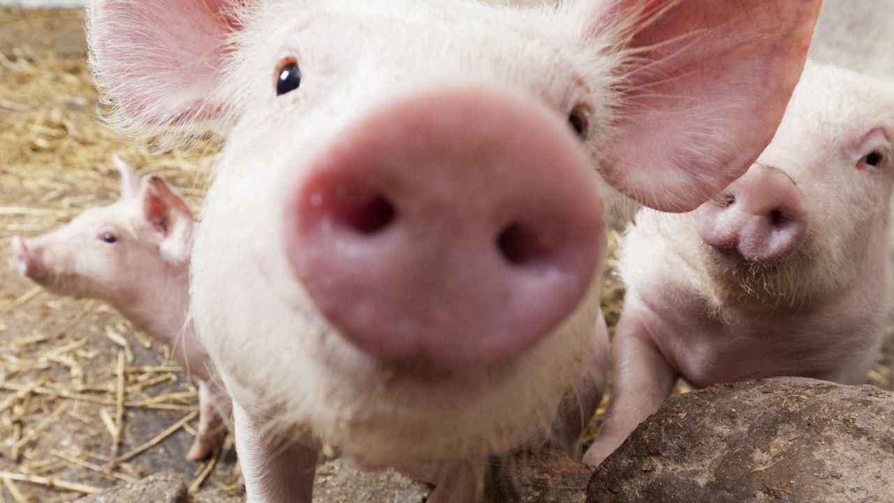 Brasil: costes de producción porcina crecieron en un 6% desde comienzos de año