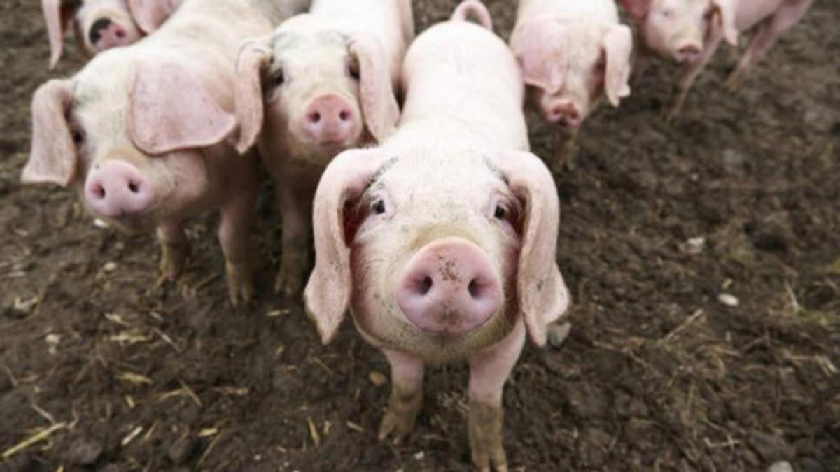 Canadá: se pronostica un incremento en las exportaciones porcinas para este año