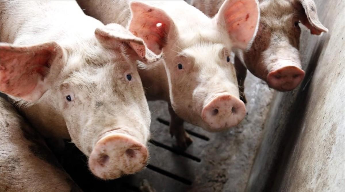 Estados Unidos se encuentra a tres semanas de quedarse sin carne de cerdo
