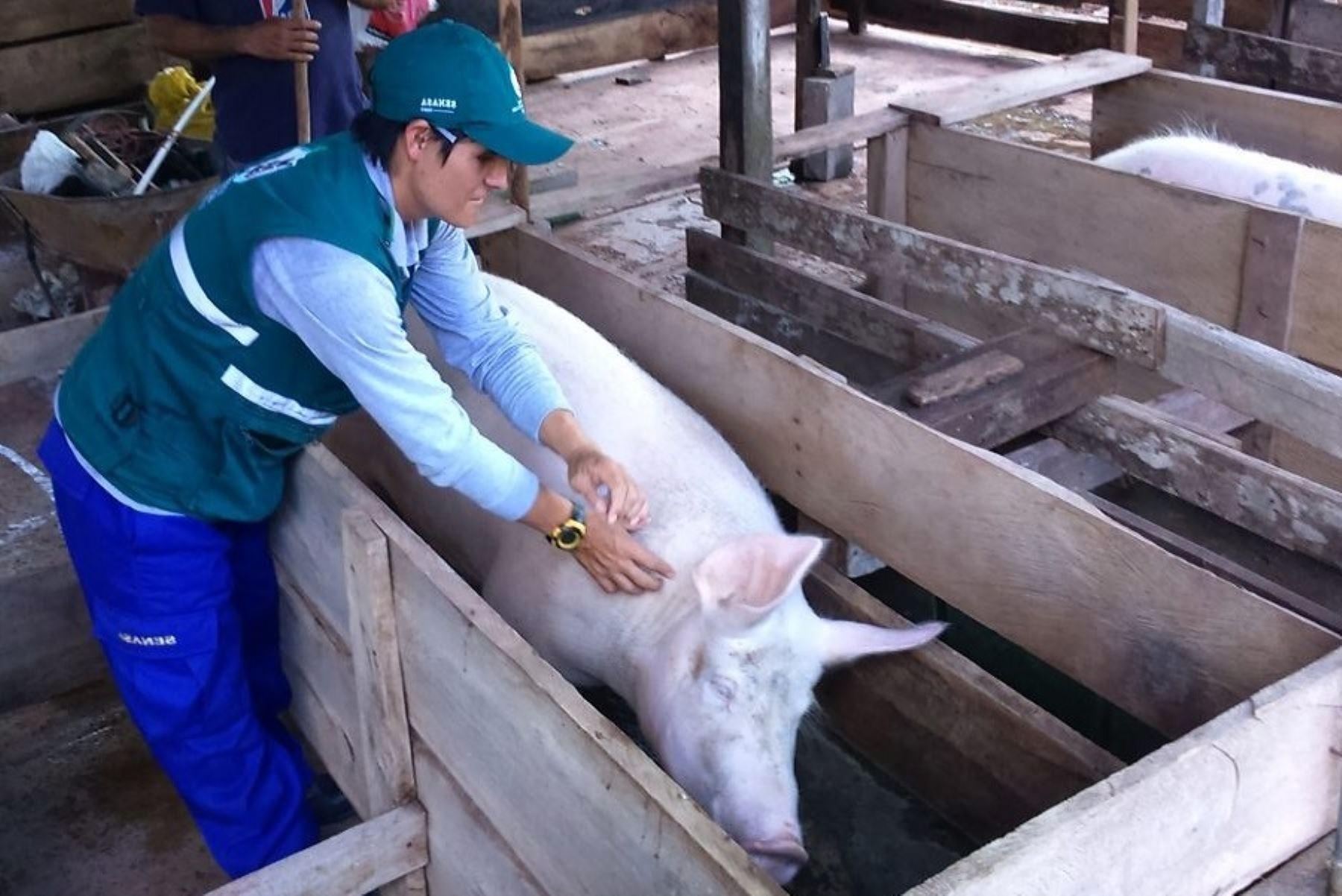 Minagri continúa con campaña de vacunación contra la Peste Porcina Clásica en Cajamarca