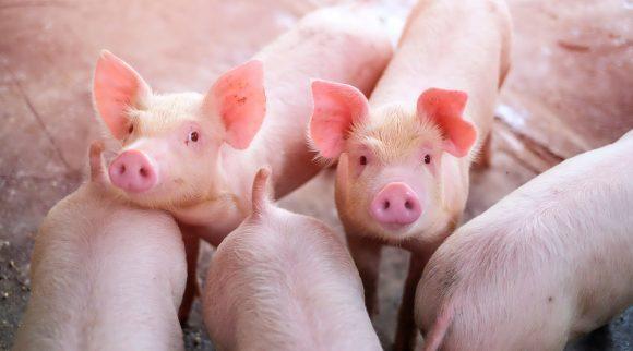 Enfermedades comunes en la producción porcina
