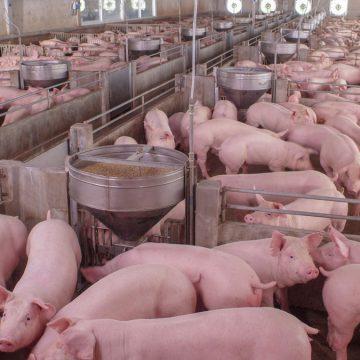 Tópicos importantes en nutrición de cerdos