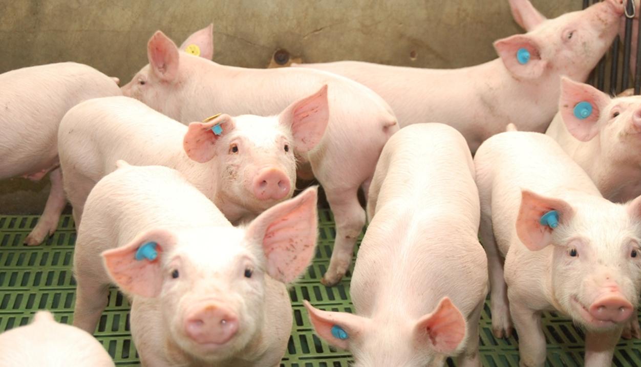 se debe de establecer medidas de bioseguridad para así mantener a los cerdos fuera de peligros de alguna enfermedad.
