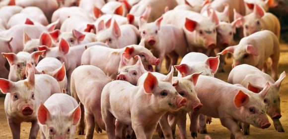 Universidad Nacional de San Cristóbal de Huamanga realizará curso internacional de porcicultura online