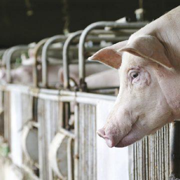 El gran desafío que genera la Artritis por Micoplasma en los cerdos