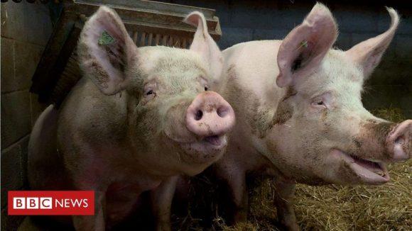Científicos en Reino Unido desarrollan tecnología que permite conocer el estado de ánimo de los cerdos