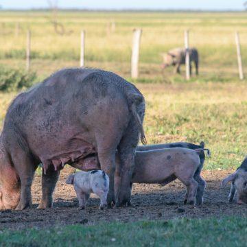 Argentina: Promueven memorándum con China en busca de inversiones para producción porcina