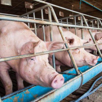 Colombia hará aprovechamiento de estiércol de cerdo para producir energía renovable