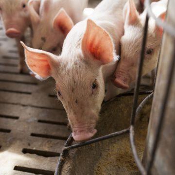 Los aditivos en piensos pueden ayudar a mitigar el riesgo de transmisión de la peste porcina africana