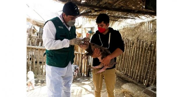 Áncash: Minagri resguarda la crianza de cerdos con campañas de vacunación contra la PPC