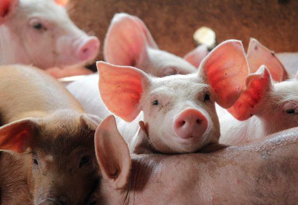 EEUU: Expertos identifican la mejor dieta para retrasar el crecimiento del cerdo
