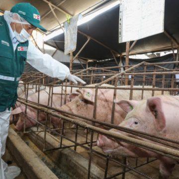 Virus detectado en cerdos en China no pone en riesgo producción porcina del Perú