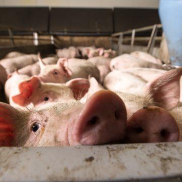 Argentina: Récord de exportaciones de carne de cerdo