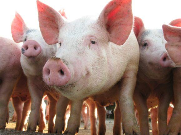 El sabor amargo en la dieta de cerdos