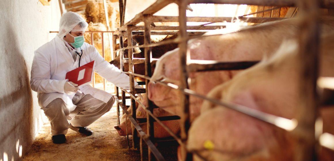 MINAGRI sigue desplegando estrategias sanitarias para proteger porcicultura en Cusco