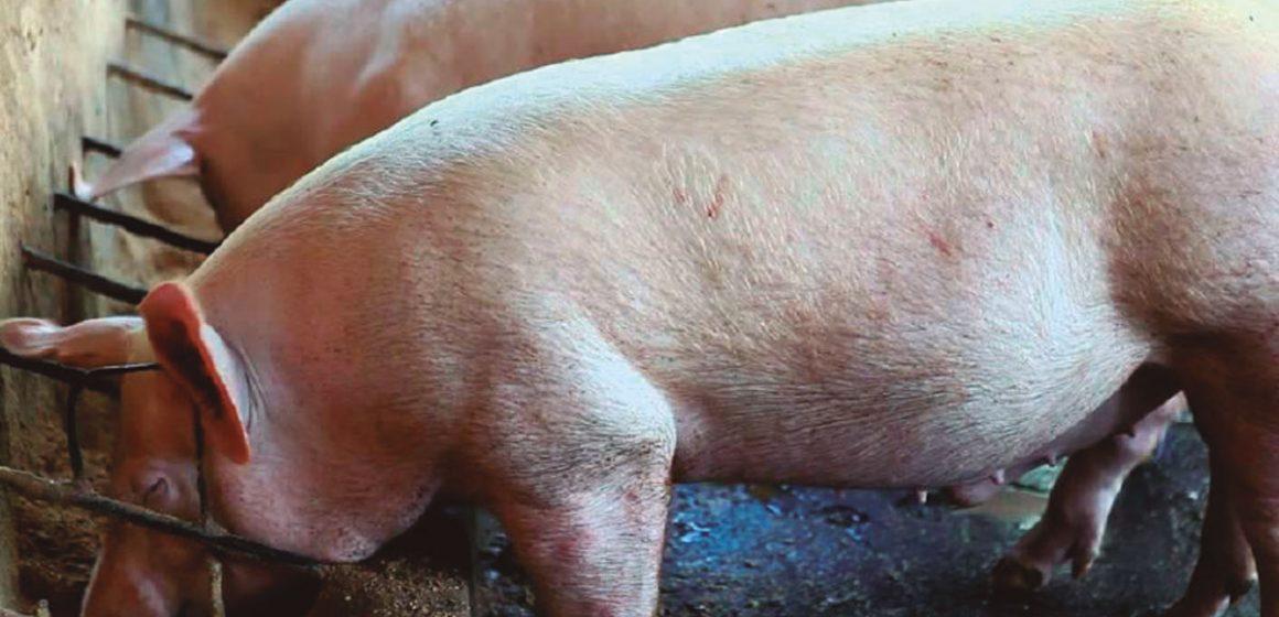 Problemas ambientales en porcinos