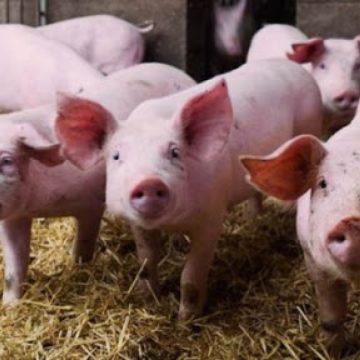 Brote de peste porcina africana amenaza la industria del cerdo en Alemania