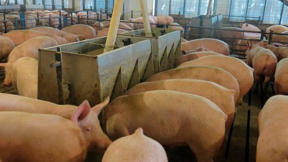 Lo que debes saber sobre las micotoxinas en porcinos