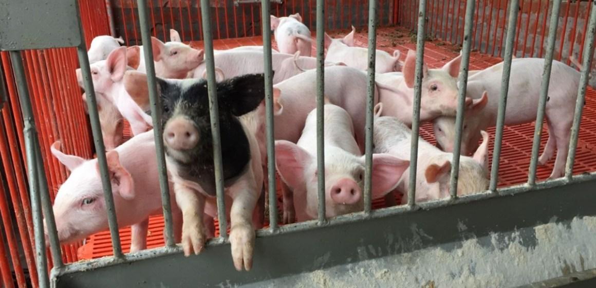INIA impulsó proyecto de innovación para mejorar crianza de porcinos en Cusco