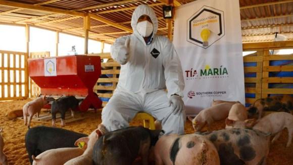 Minera Tía María implementa granja de porcinos tecnificada en Islay