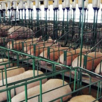 China iniciará innovador mercado de futuros del cerdo en 2021