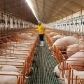Producción de carne porcina en nuestro país creció en 3% durante 2020
