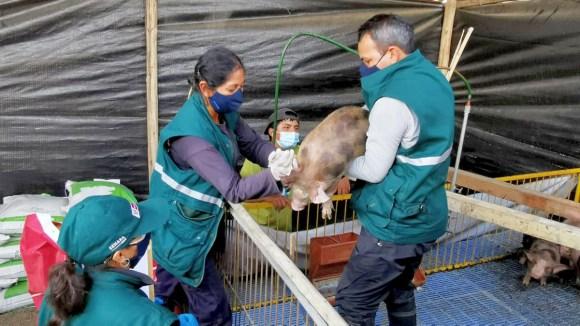 Senasa inicia vacunación de 216 mil cerdos contra la PPC en La Libertad