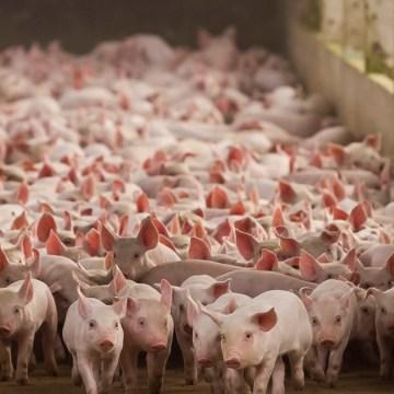 Producción porcina mundial crecería en 50% antes de 2050