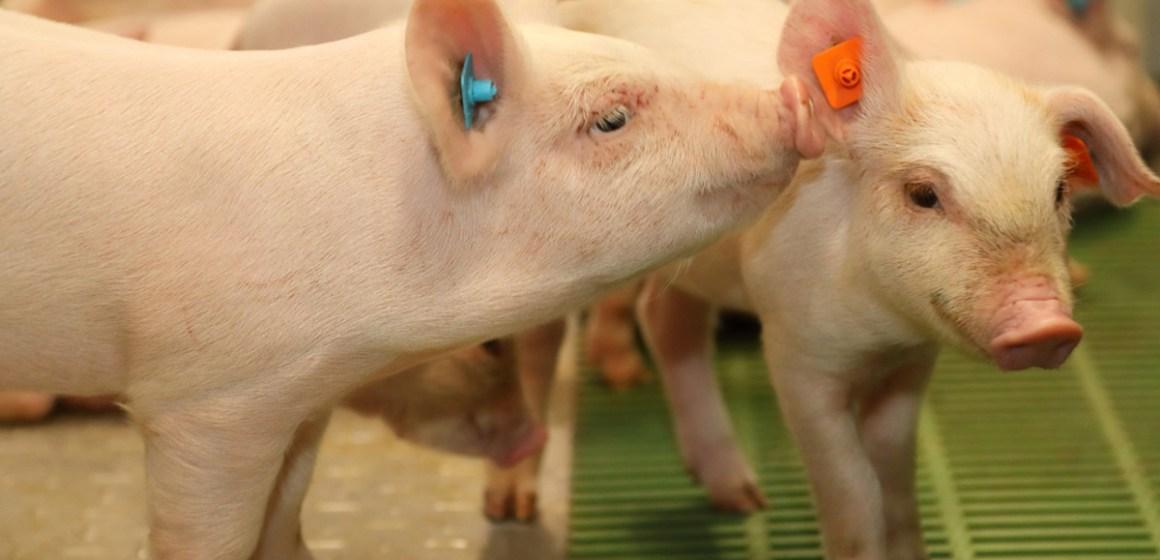 La importancia de monitorear el confort térmico de los animales en tiempo real