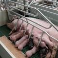 Salud intestinal en la cerda y su impacto en la producción de leche y resultados de la camada