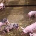 Caso clínico: Intoxicación por cobre en lechones en edad de recría en una granja tecnificada